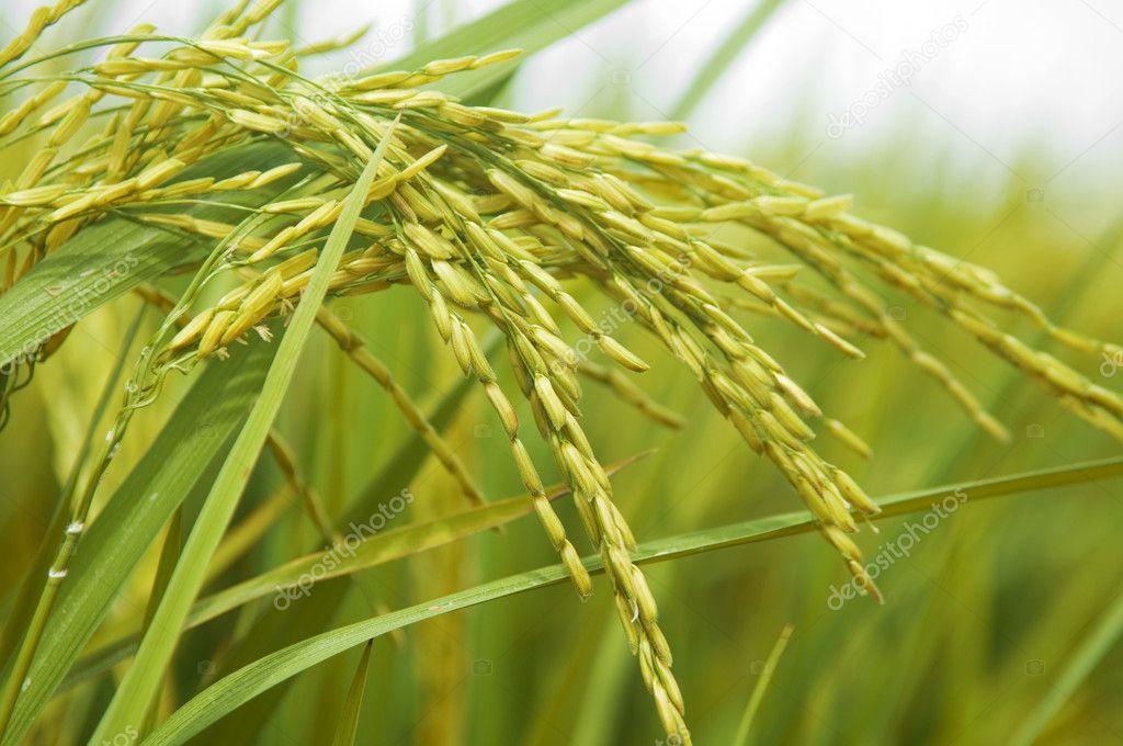 Paddy rice.