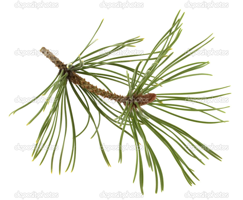 White pine twig with a flower bud