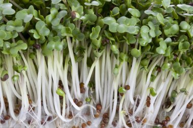 Broccoli sprouts macro