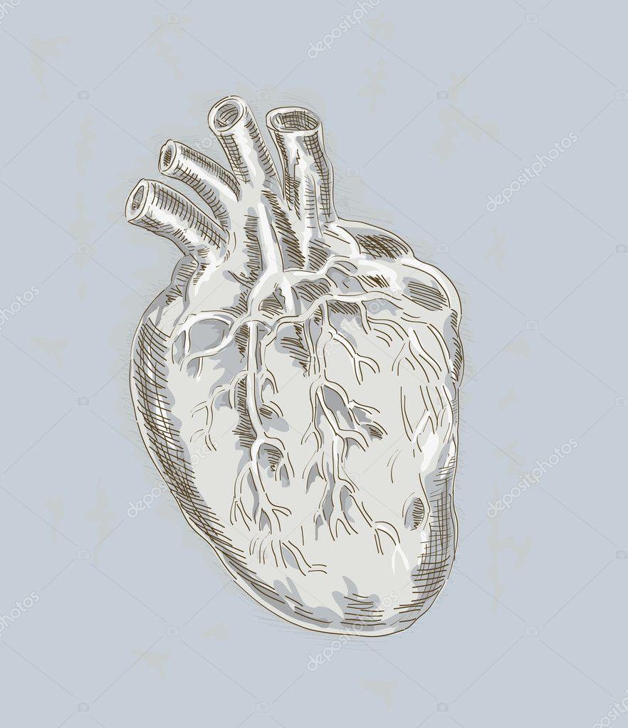 Menschliches Herz Anatomie — Stockfoto © patrimonio #2060556