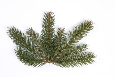 Spruce star