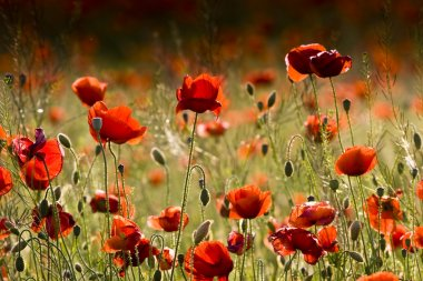 The red poppies of the meadow