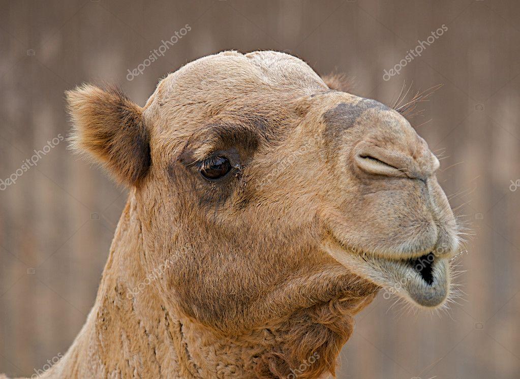 Close up face of a camel.