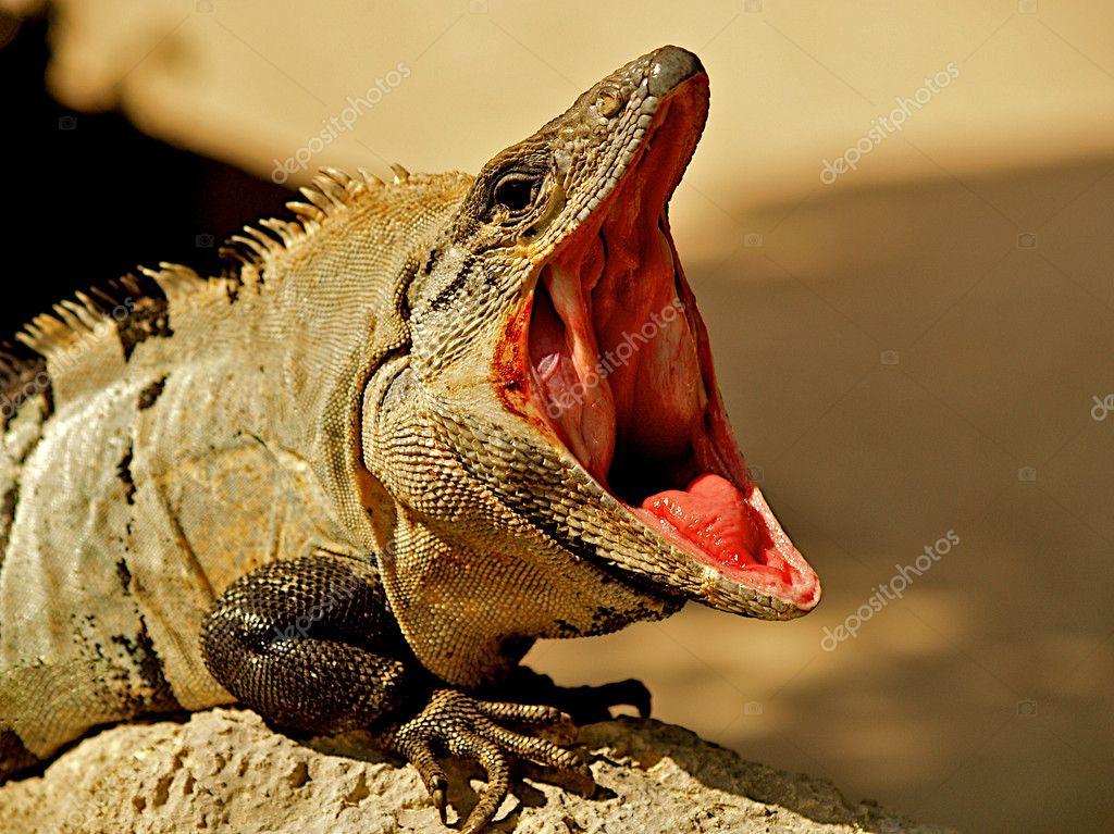 Open mouthed iguana.