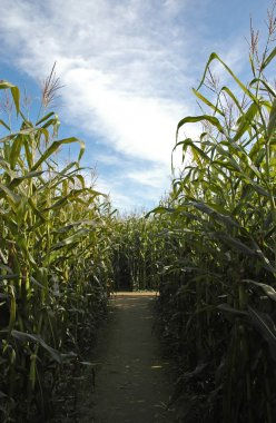 Pathway through the corn maze