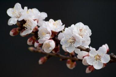 Flowering apricot tree branch