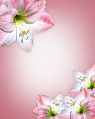 Amaryllis pink flower Border