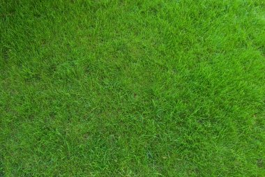 Real green grass texture