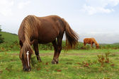 divoké pottok koně