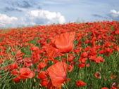 Fotografie Field of poppies