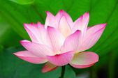 Fotografie Rosa lotus