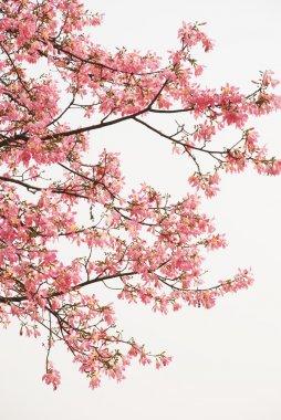 Pink spring kapok flowers