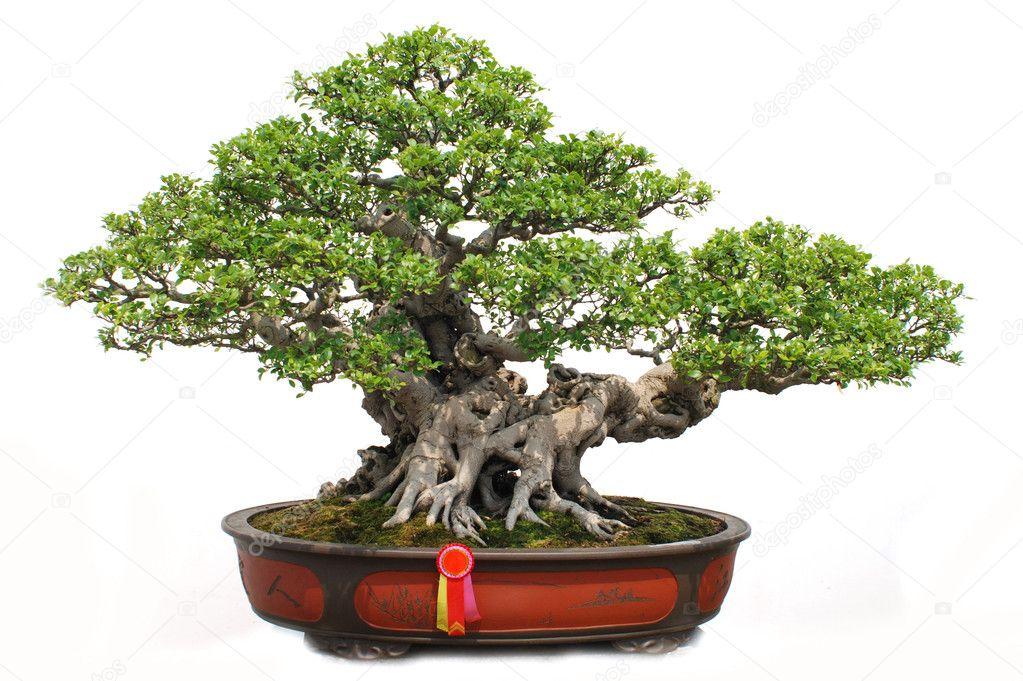 The Chinese Bonsai Tree Of Banyan In A Pottery Pot Stock Photo C Donkeyru 2316150
