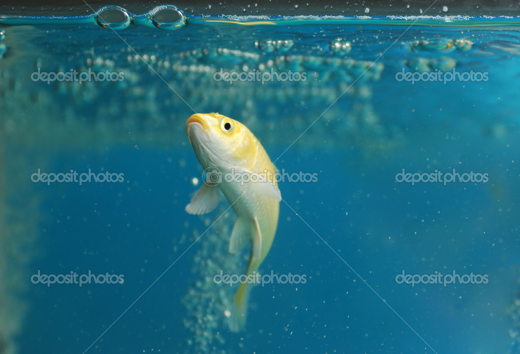 A koi carp fish swim in the glass aquarium stock photo for Carp in a fish tank