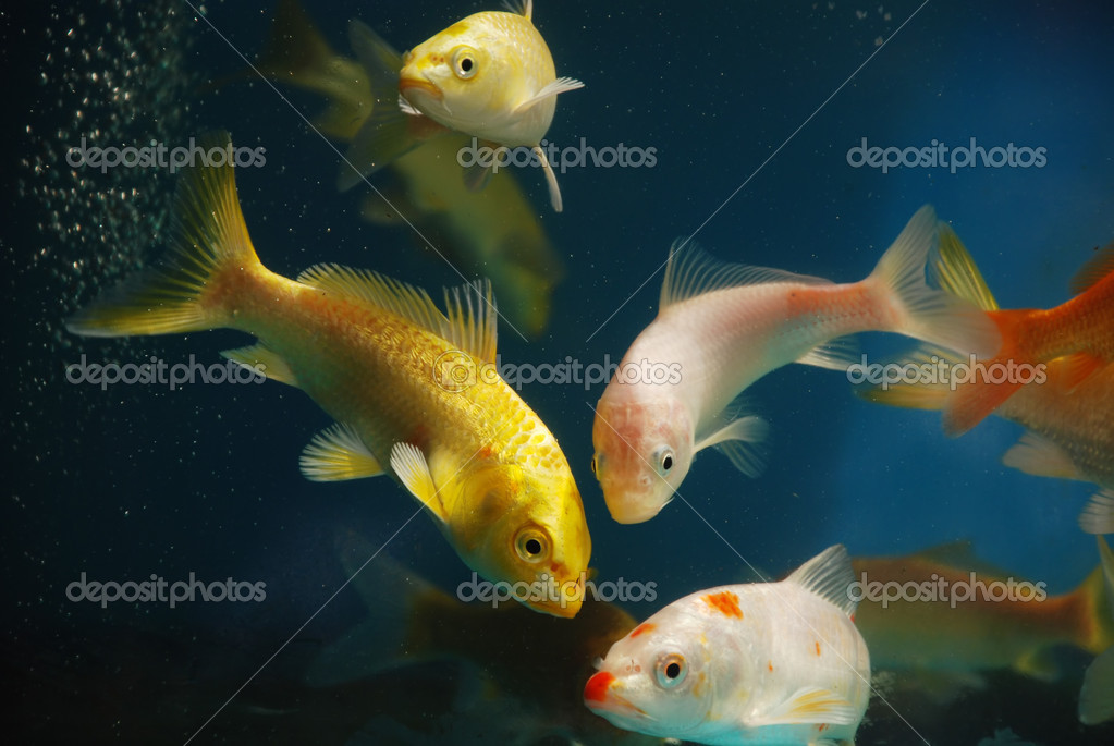 Pet golden fish swim in aquarium