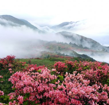 Spring misty mountain peach flowers