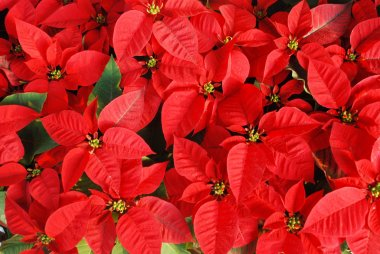 Bright red Christmas rose leaves