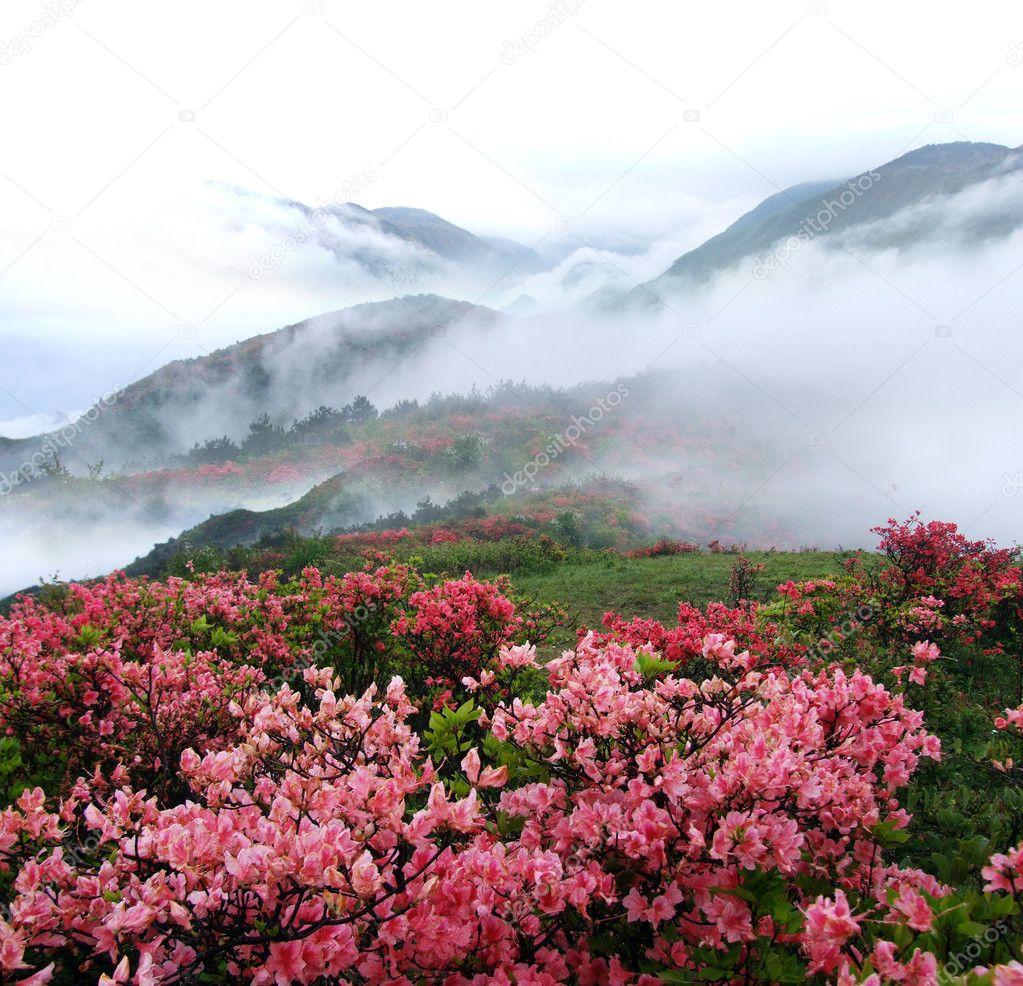 Spring mountain azelea flowers