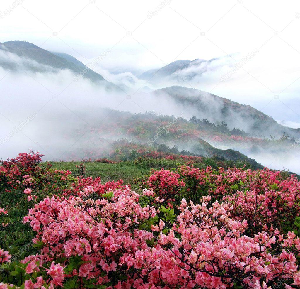 Spring misty mountain peach flowers