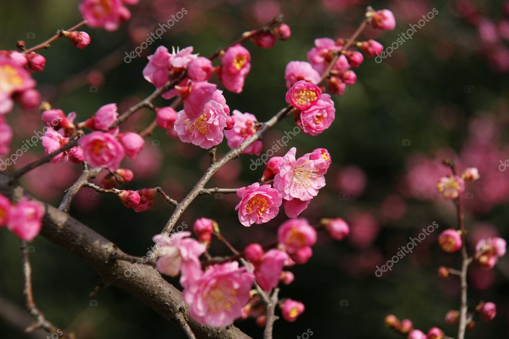 Pink Plum blossom on twigs