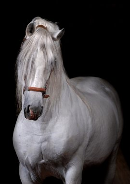 White horse on black background