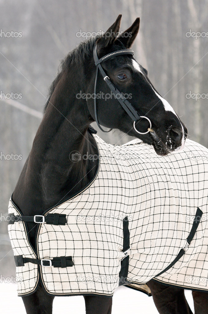 Black horse under the blanket in winter