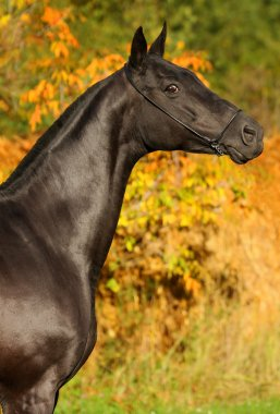 Black horse in the autumn background