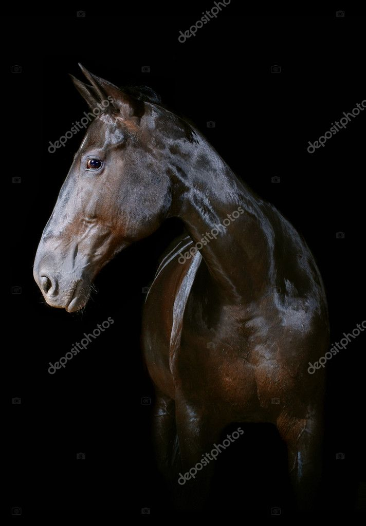 Dark bay horse on a black background