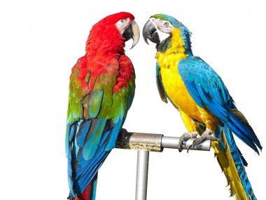 Two beautiful bright colored parrots