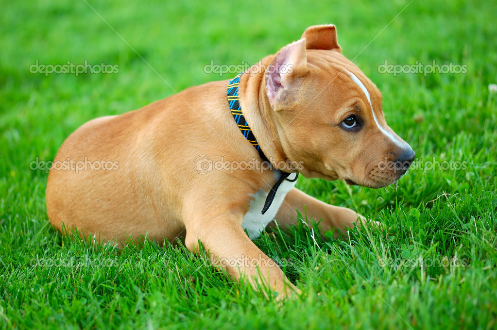 Pit bull terrier puppy on the green gras