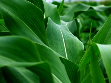 Young green corn leaves