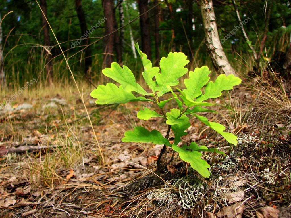 Young oak