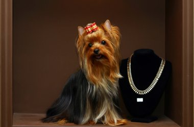Yorkshire terrier with diamonds
