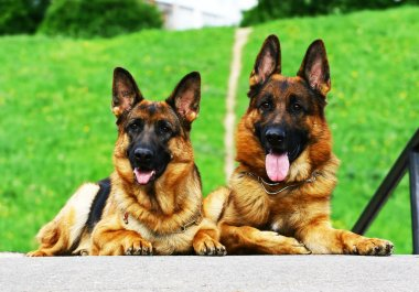 Two shepherd dogs