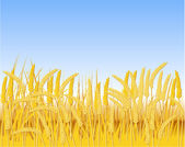 Fotografia Campo di cereali