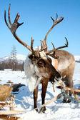 Photo Reindeer