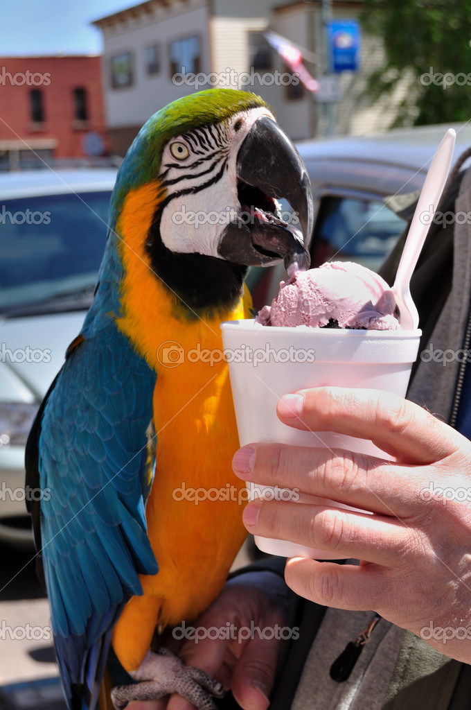 Colorful Macaw Eating Ice Cream. vertical