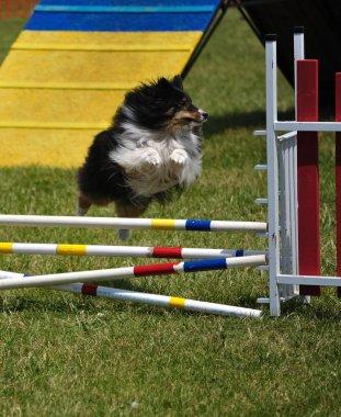Shetland Sheepdog (Sheltie) leaping