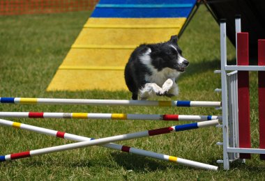 Border Collie leaping over a double jump