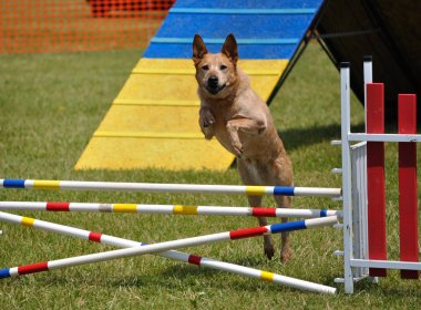 Large dog leaping over a double jump