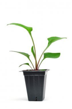 Potted Purple (Ruby Star) Coneflower Seedling Isolated on White, vertical stock vector