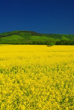 Vivid yellow rape field, deep blue sky