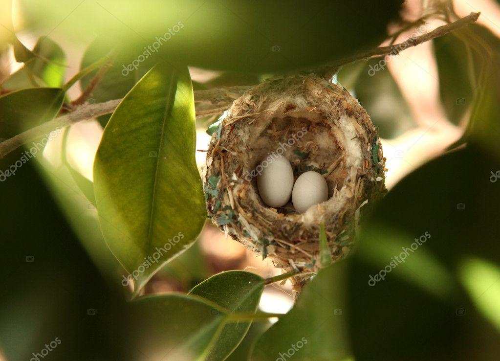 2 Hummingbird Eggs in a Nest