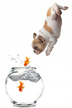 Puppy Following Jumping Goldfish Into a