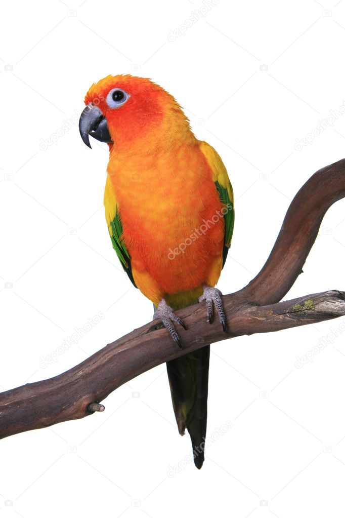 Cute Sun Conure Parrot Sitting on a Wood