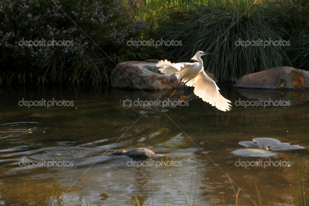Snowy Egret Flying Out of Water