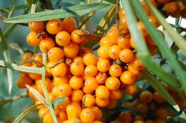 Sea buckthorn fruits