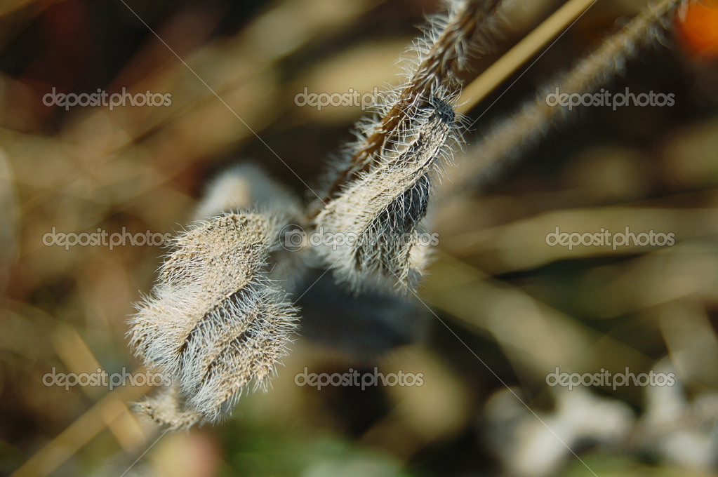 Hairy leafs