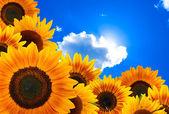 Slunečnice proti modré obloze