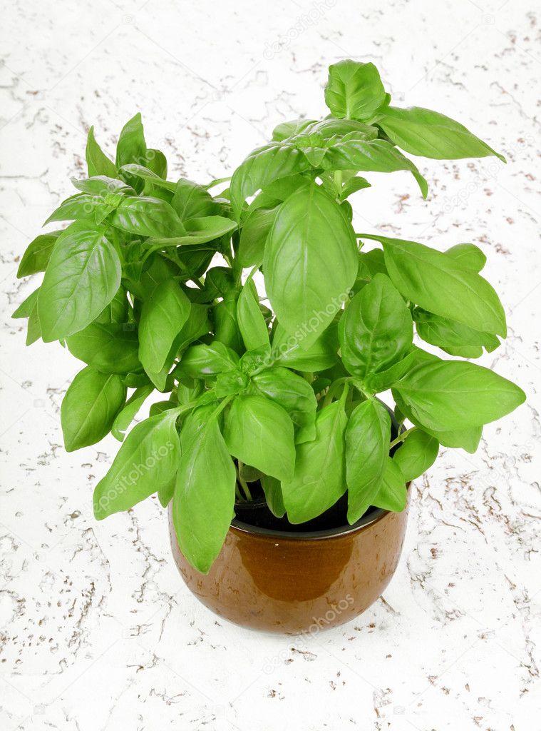 Fresh basil plant in pot